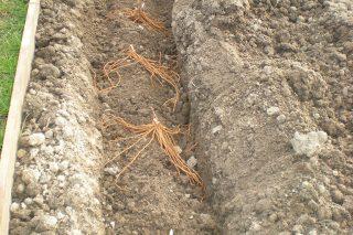 Asparagus-Planting